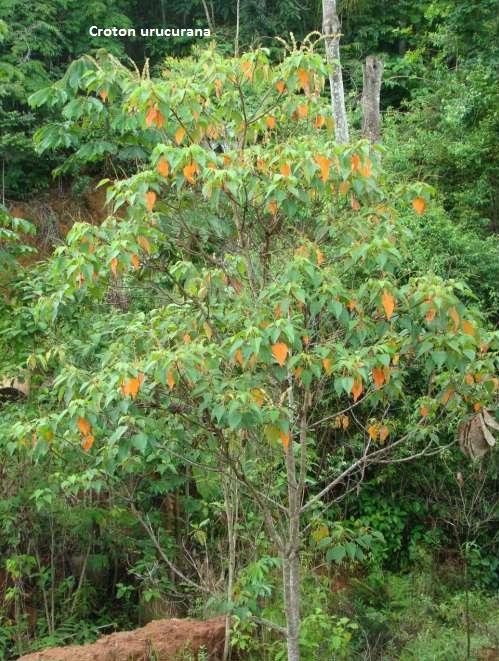 Sangra d'agua Croton urucurana