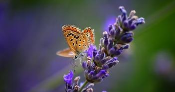 lavanda-borboleta