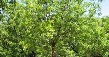 Árvore de nim